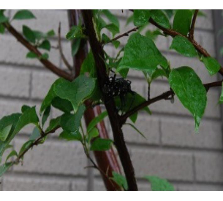 生木食べるゴマダラカミキリ