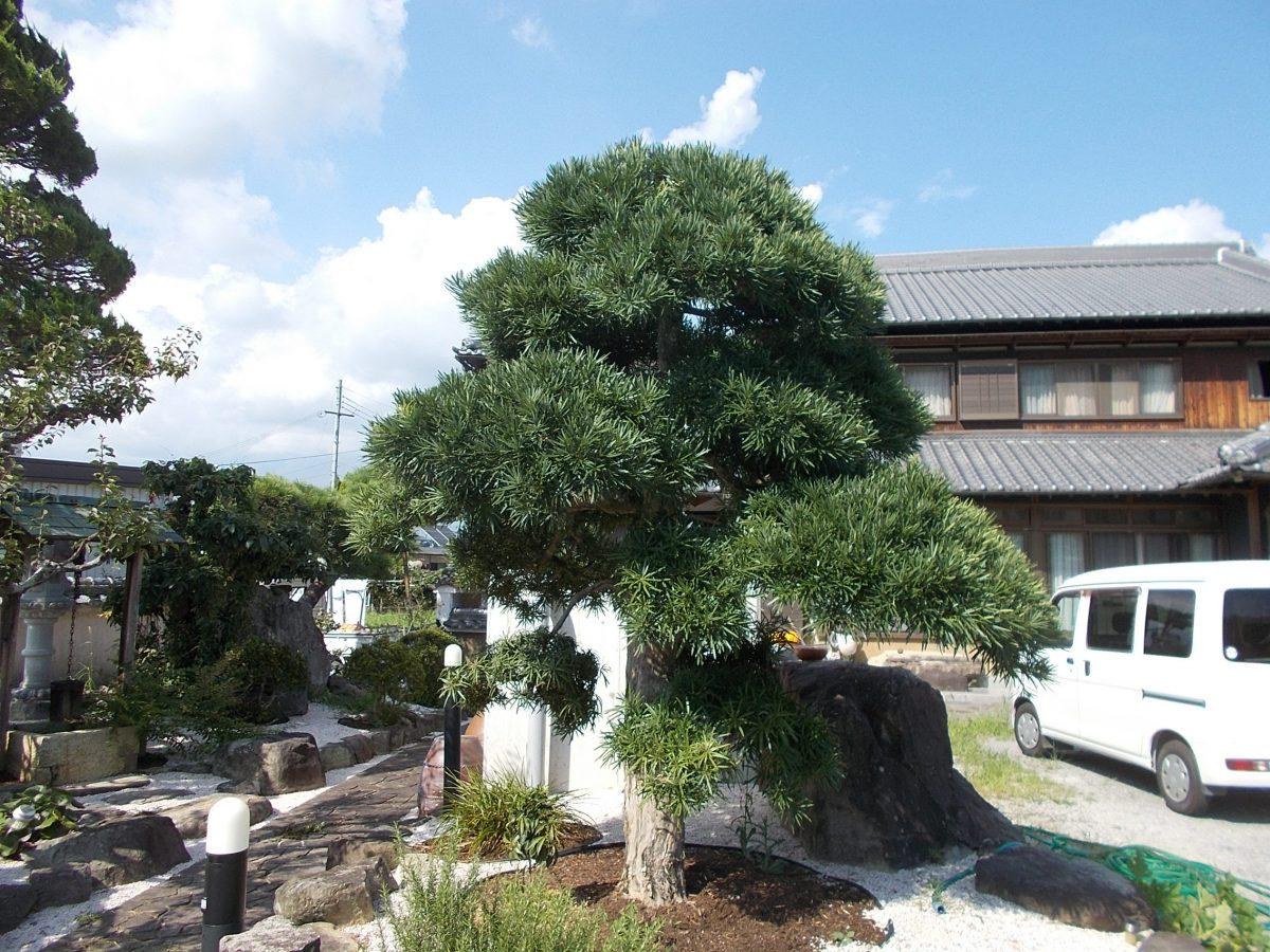 樹勢回復 加西市